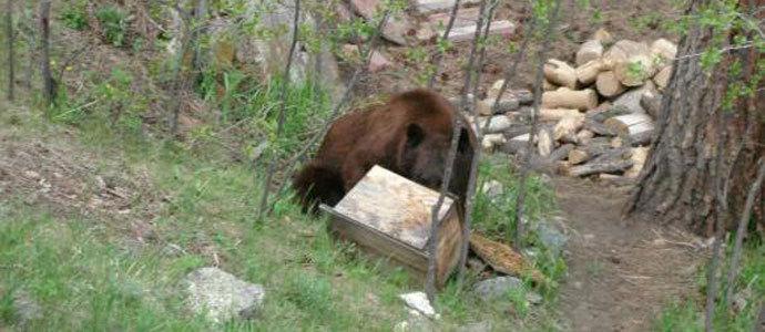 Un oso se ceba con las colmenas de Abiada
